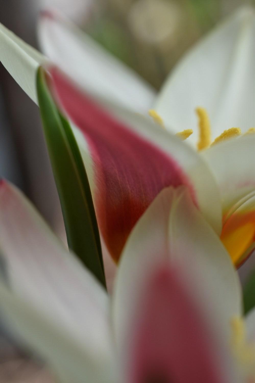 Weiß rötliche Tulpenblüten aus der Nahaufnahme