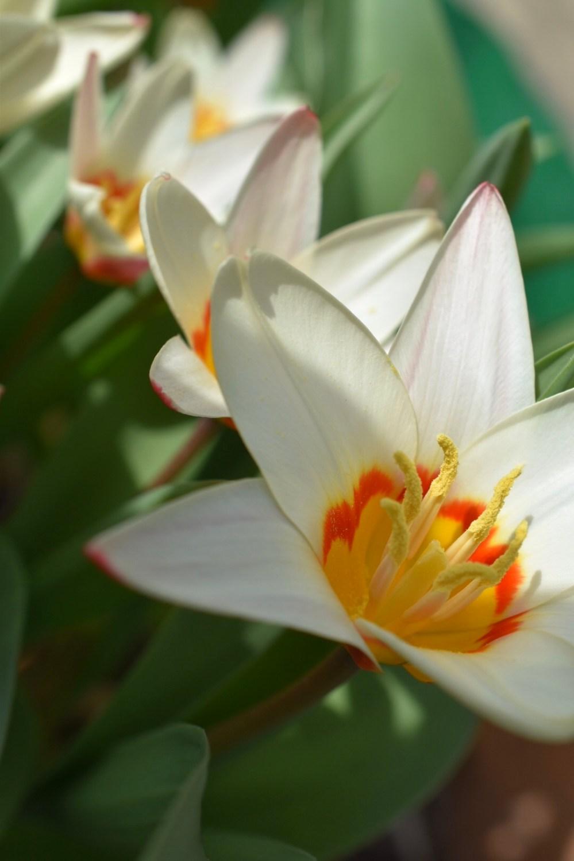 Weiße Tulpenblüte mir gelben Staubblättern