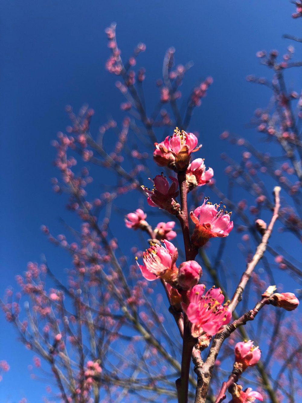 Pinkfarbene Pfirsichblüten im Vordergrund und Hintergrund