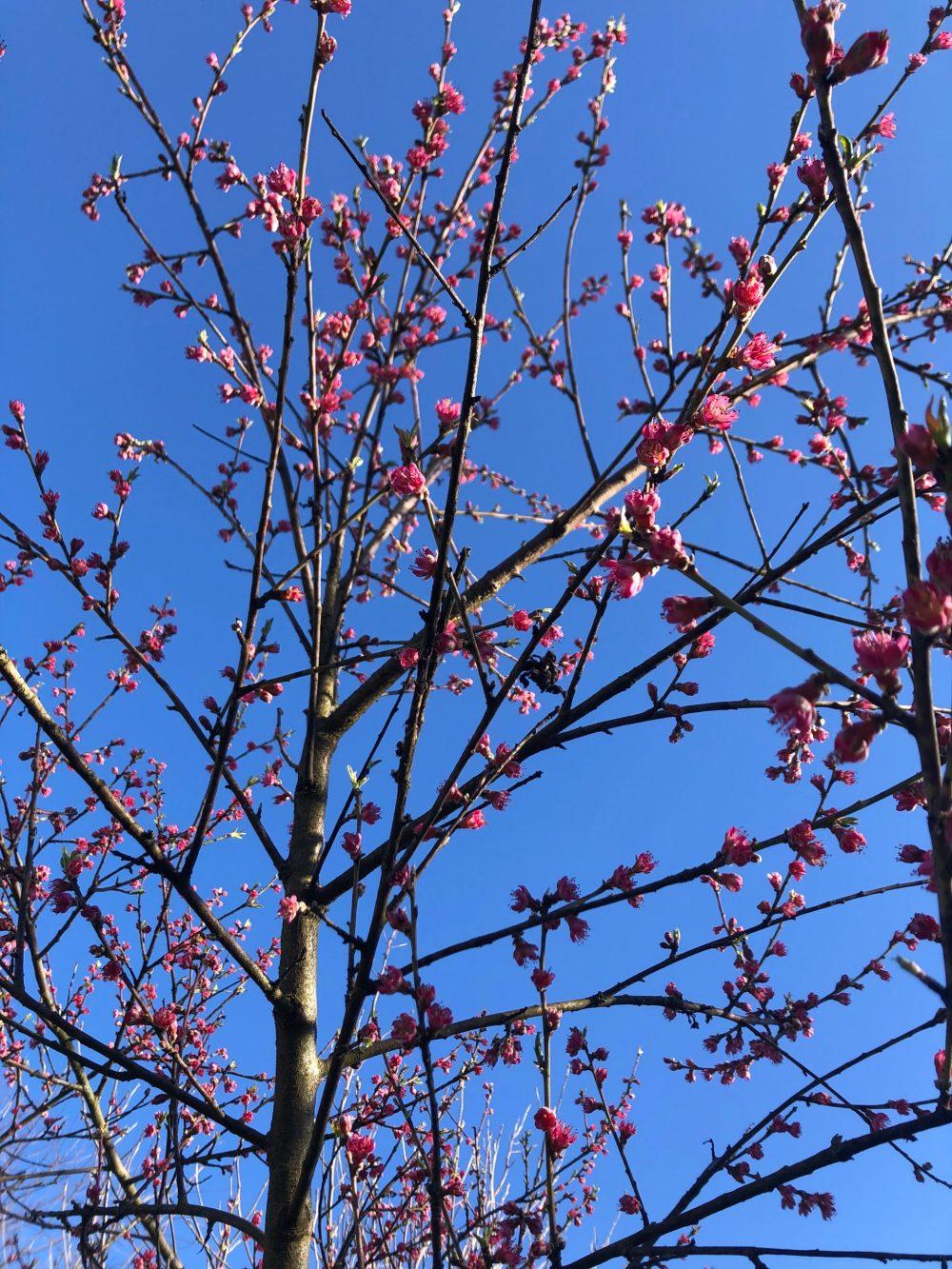 Blühender Pfirsichbaum bei gutem Wetter