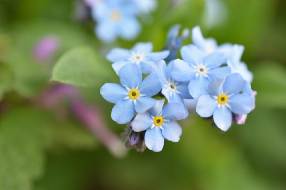 Bläuliche Vergissmeinnicht Blüten
