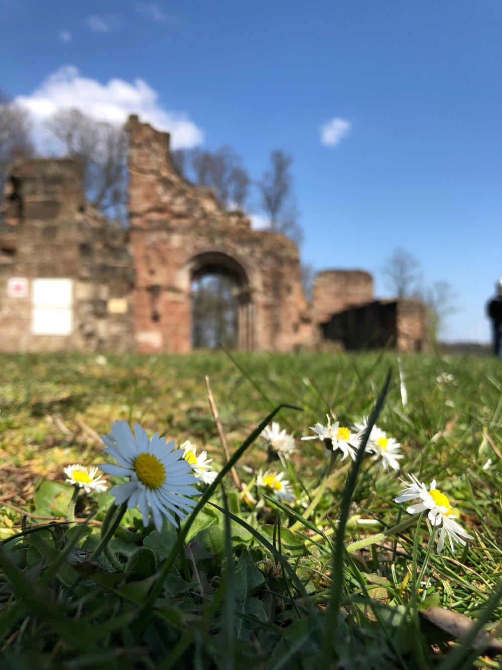 Gänseblümchen vor der Klosterruine