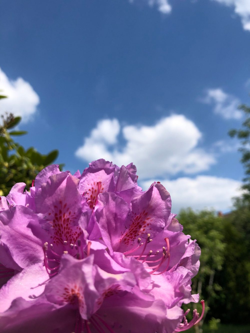 Zwei Blüten des Rhododendrons