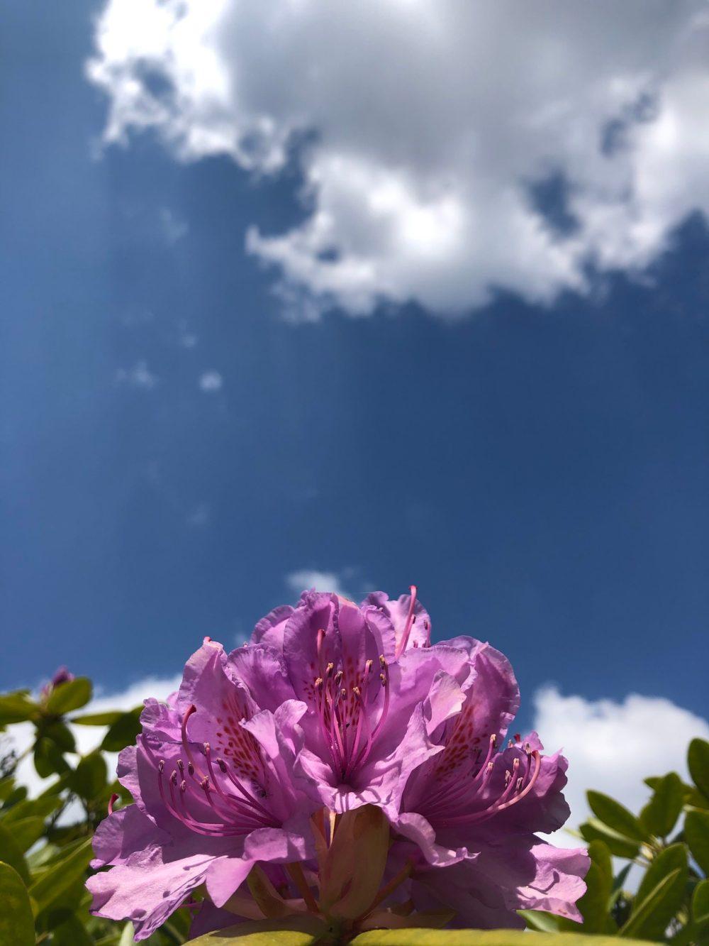 Rhododendron Blüten mit Himmel