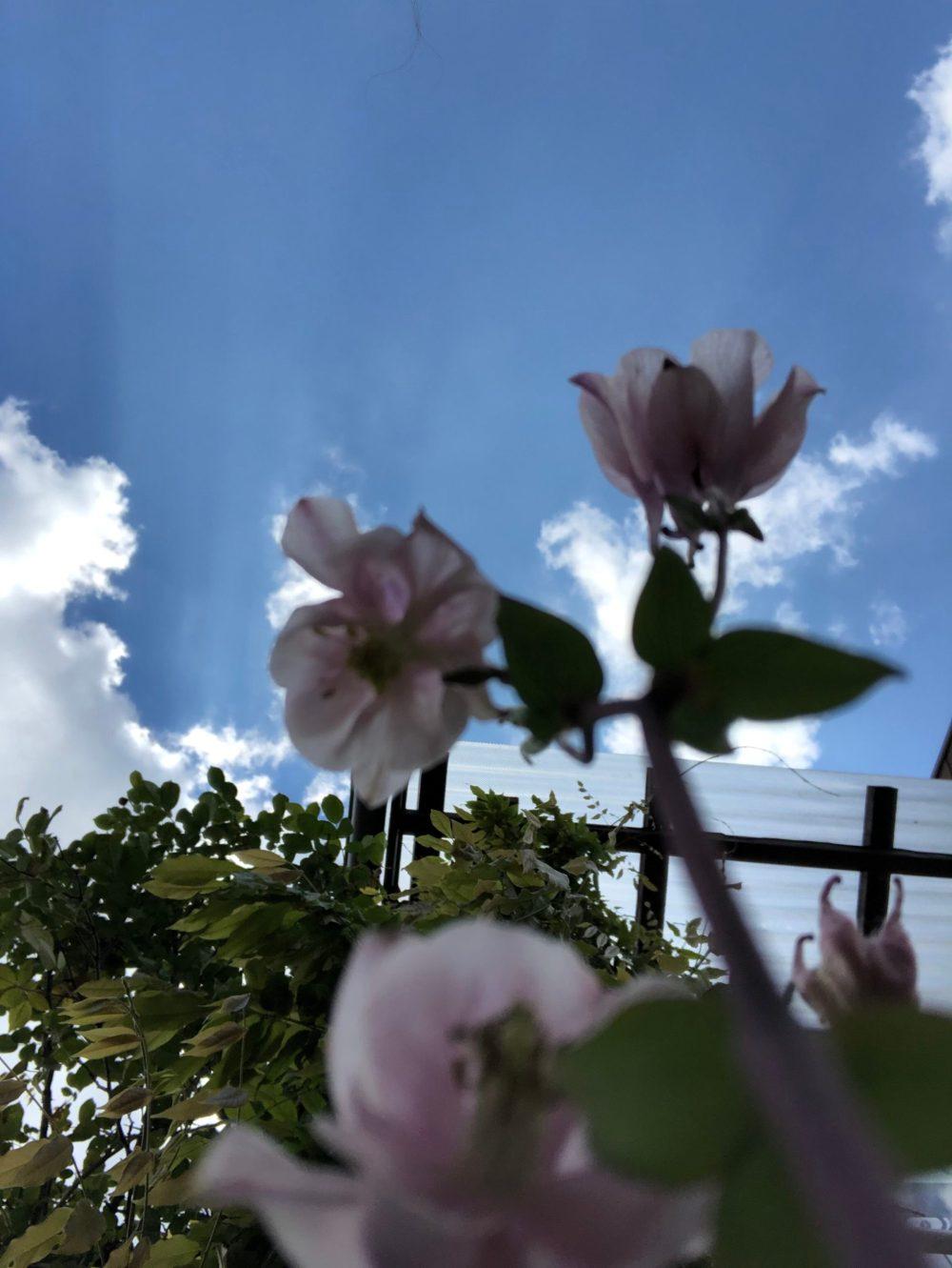 Rosa Glockenblumen von unten