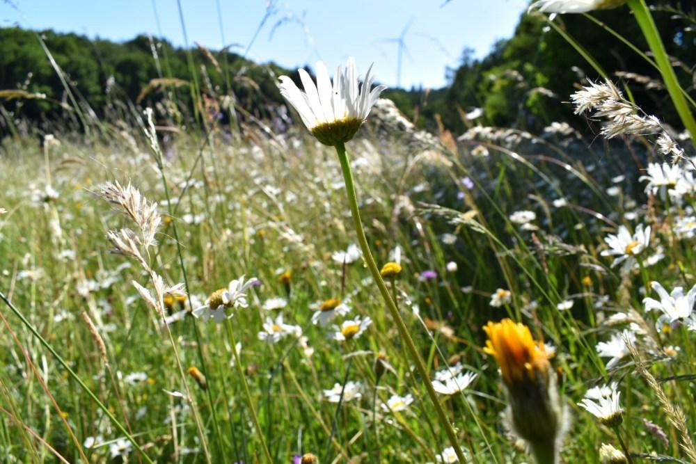 Blumenwiese mit verschiedenen Blumenarten