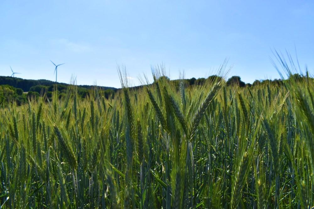 Weizenfeld mit Windrädern im Hintergrund