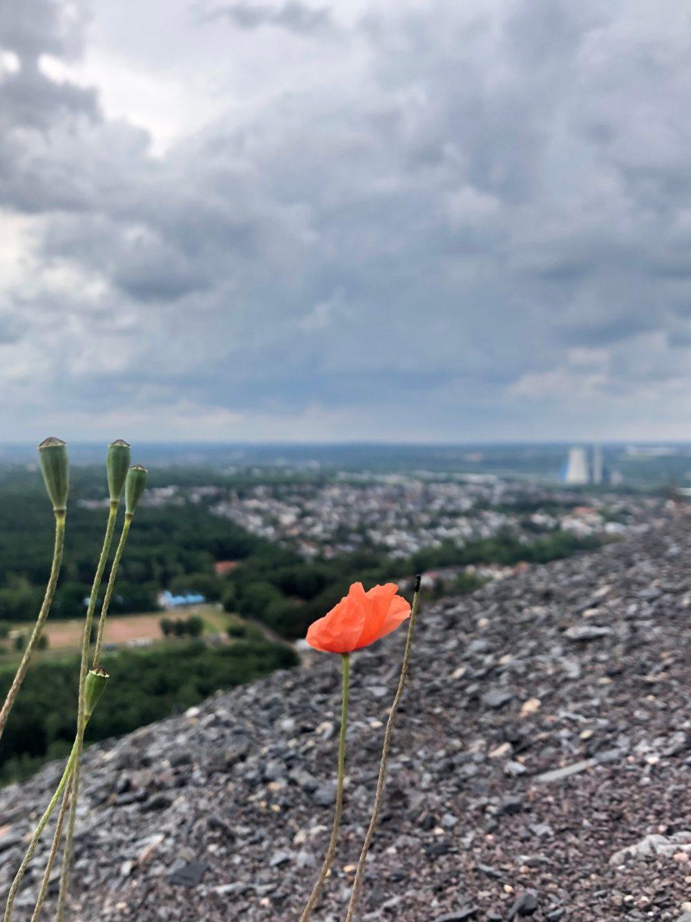 Mohn auf der Aussichtsplattform der Bergehalde Duhamel