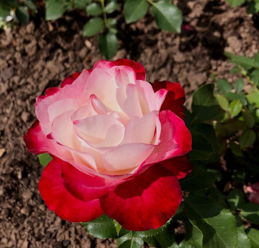 "Rot weiße Floribundarose mit dem Namen ""Jubile du Prince de Monaco"" von oben"