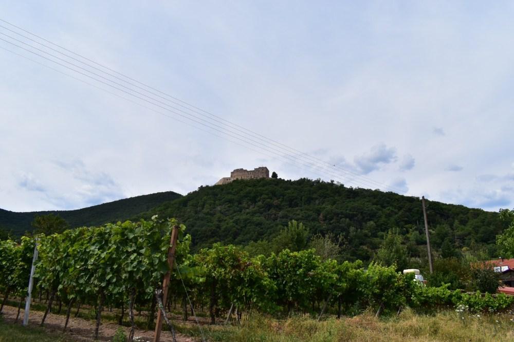 Weintrauben Stöcke unter dem Hambacher Schloss
