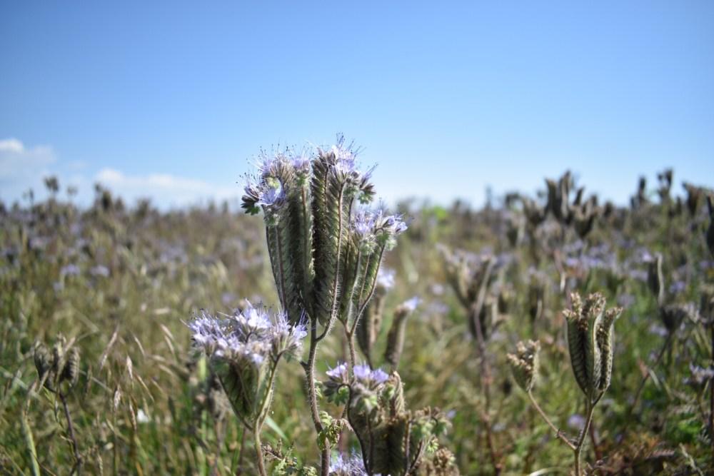 Phacelia Blüte, heller belichtet