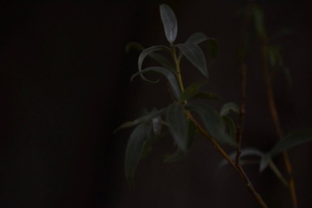 Weidenblätter im dunkeln Licht