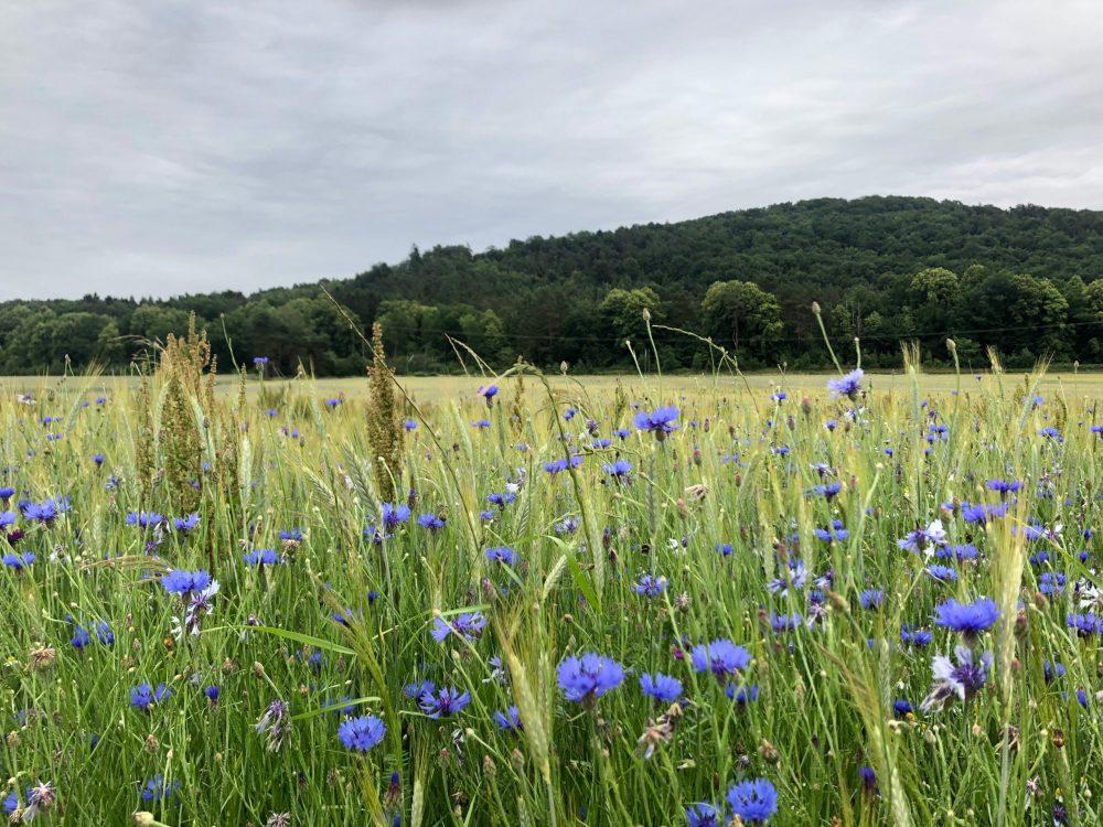 Kornblumen im grünem Feld