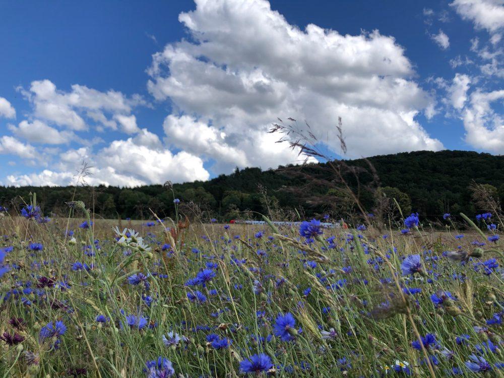 Strahlend blaue Kornblumen mit rot, weißem Zug im Hintergrund