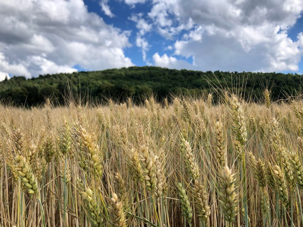 Gerstenfeld mit Wald im Hintergrund