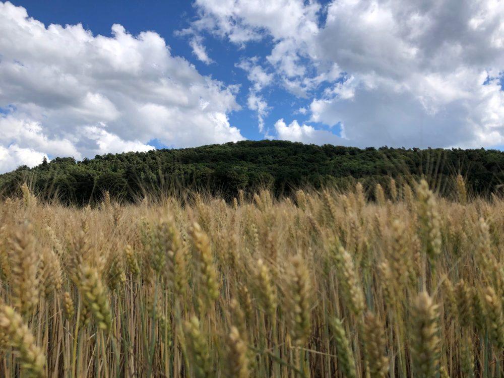 Gerstenfeld und Wald mit Fokus auf dem Hintergrund