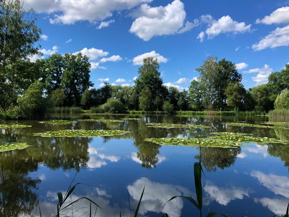 Reflexion des blauen Himmels und der Bäume auf dem Gänseweiher, der mit Seerosen bedeckt ist
