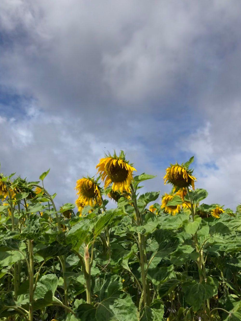 Sonnenblumen unter Gewitterwolken