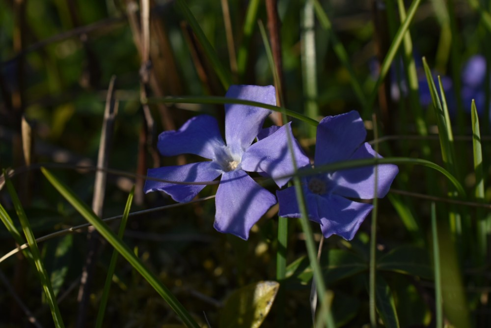 Violette Blüten im Gras