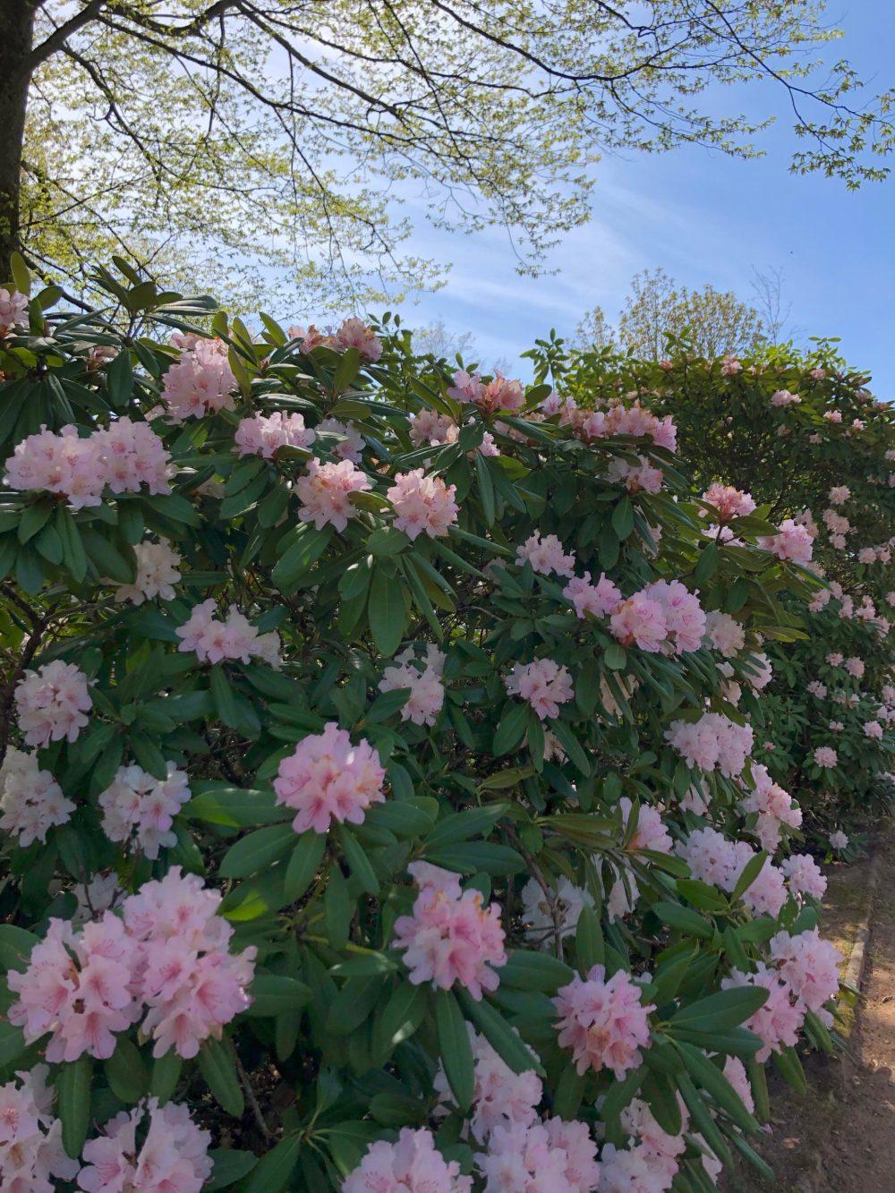Rosafarbener Rhododendron