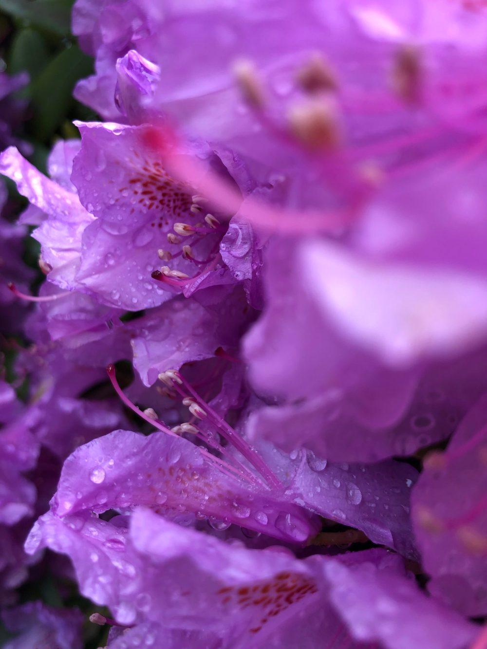 Reihe an Rhododendronblüten in der Welt der Wassertropfen