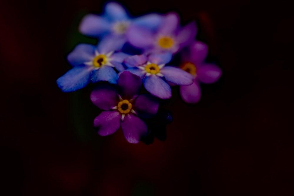 Violette Vergissmeinnicht in der Dunkelheit