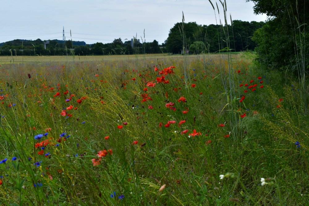 Viele Mohnblumen im Grass