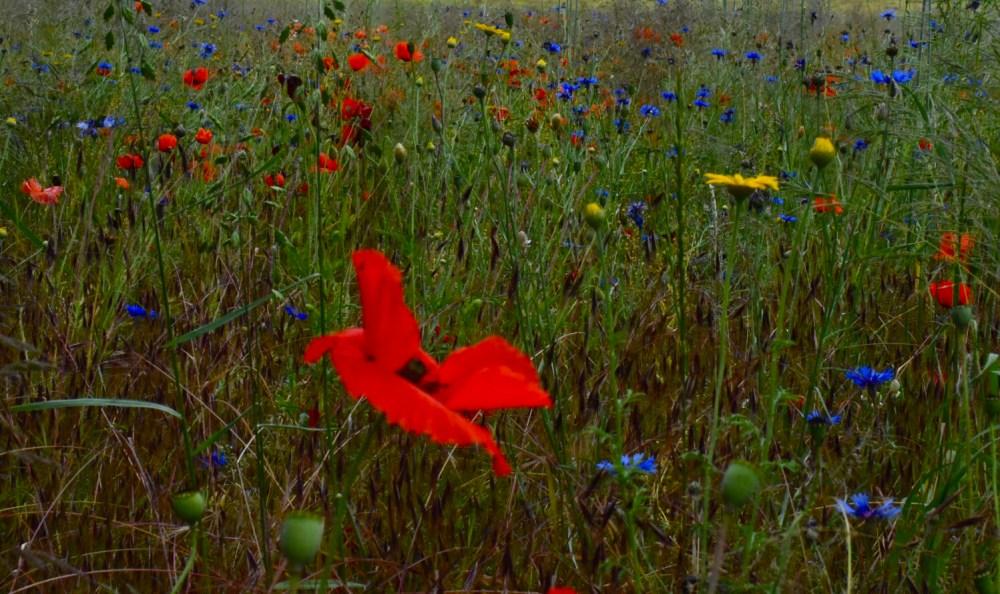Bunte Blumenwiese mit knallroter Mohnblume im Vordergrund