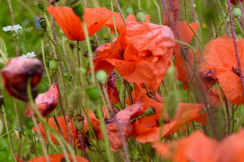 Roter Mohn im hohem Grass