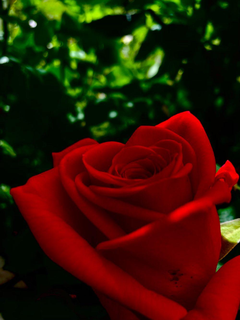 Strahlende rote Rose im Busch