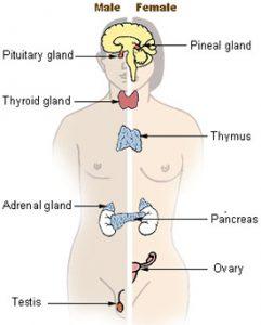 -Graphics-Major Endocrine Glands