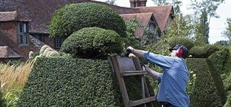 A man trimming bushes with an electric trimmer