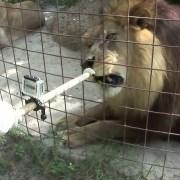 VIDEO: Lav koji voli sladoled!
