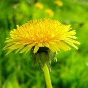 Korijen maslačka liječi rak