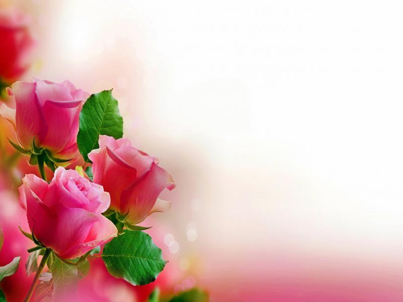 Pink Rose Hd Photo Graphic Backgrounds for Powerpoint