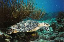 Mooie Schildpad In Curacao Prachtig Curaao