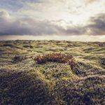 Przyroda na Islandii- wcale nie-taka-martwa natura. Zioła na Islandii.