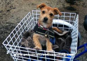 puppy-in-trike-basket