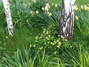 daffodils around tree trunks illustrating an article about the symptoms of depression