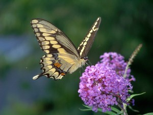 Serial Dating – How to Tell He/She is a Butterfly