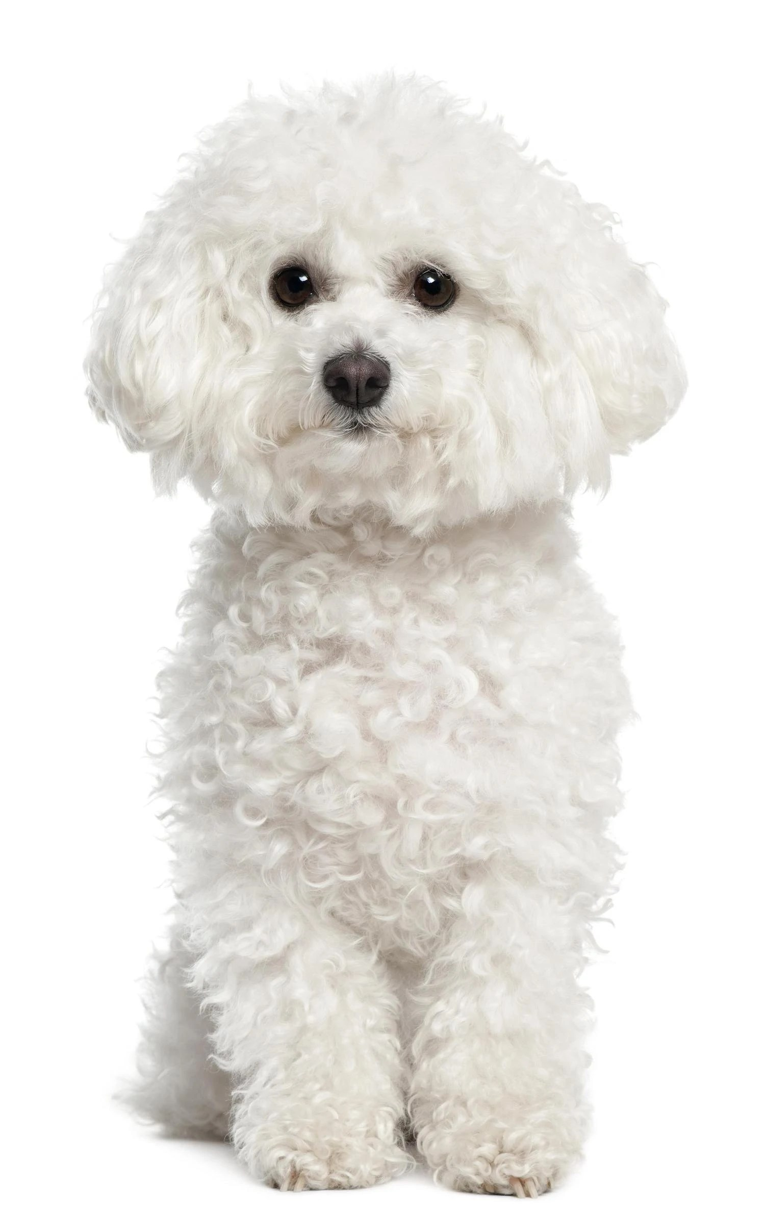 Small white dog breeds  5 of the best  Practical Paw