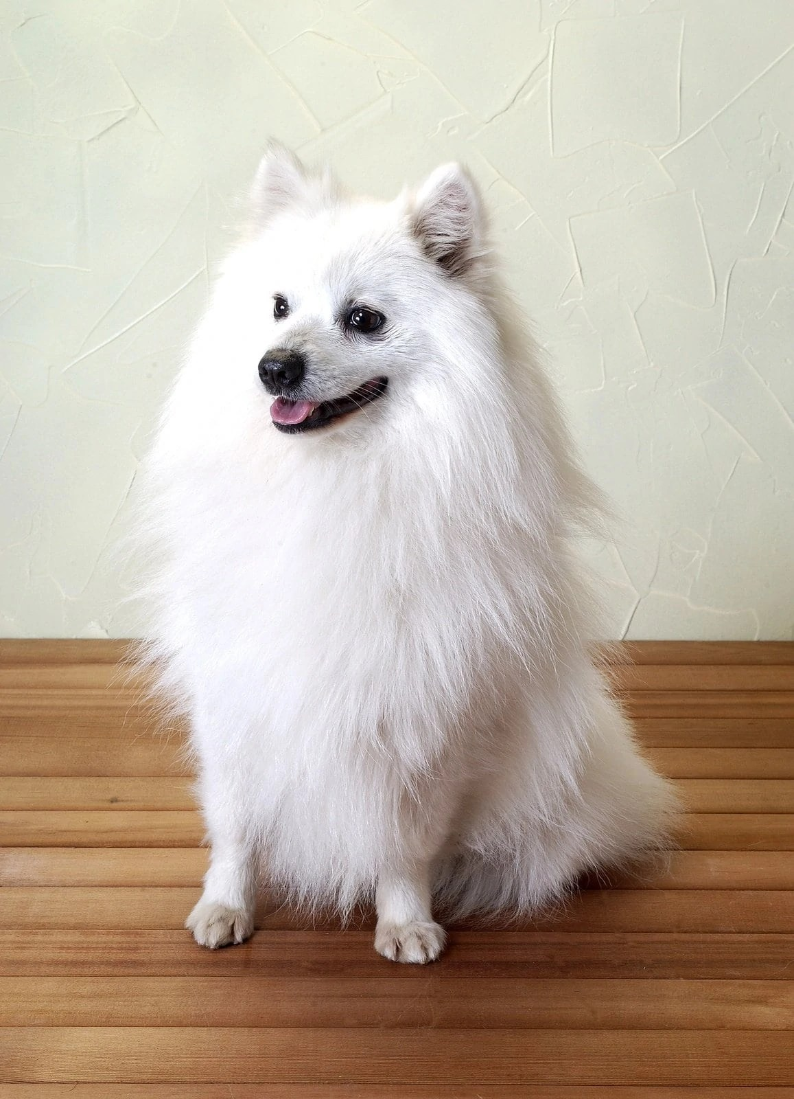 5 of the best small white dog breeds  Practical Paw  The
