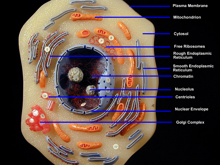 Animal Cell Organelles Animal Cell Model Diagram Project Parts