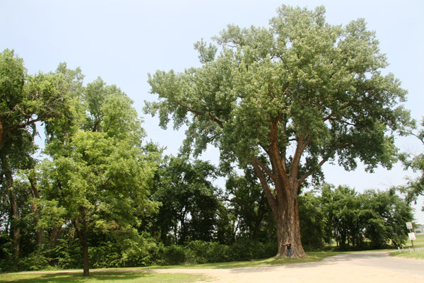 Cottonwood Tree