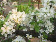 Biela farba kvetov intenzívne láka piliarky. V období plného kvetu je preto ich nálet najintenzívnejší.