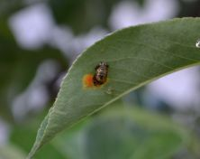 Larva lienky na rozvíjajúcom sa liste hrušky.