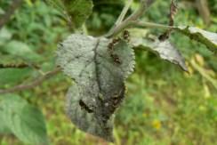 Mravce farmári sa starajú o vošky