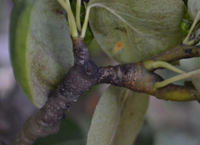 Sčernaný konárik hrušky, na ktorom ešte nedávno sídlila kolónia méry hruškovej. Tú v priebehu krátkej doby zlikvidovali larvy lienok.