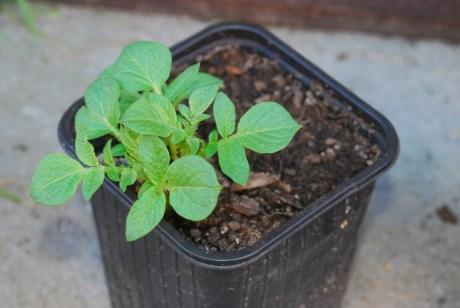 Pevná rastlinka, ktorá vyrástla zo šupky s očkom