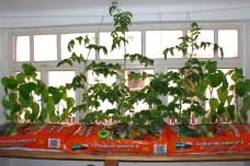 Prvé z rastlín dosahujú výšku stropu